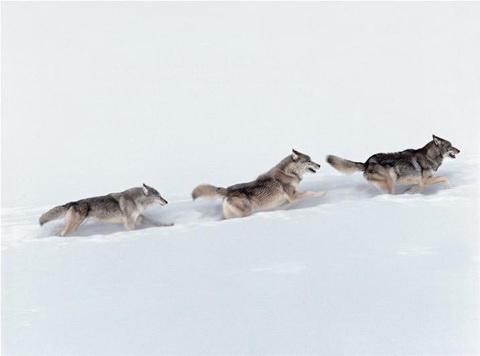 Những con sói di chuyển ra xa khỏi khu vực được bảo vệ của Khu bảo tồn  Yellowstone. Mùa đông đến và bầy sói Washakie băng qua dãy Absaroka của  Wyomin ...